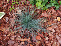 Festuca glauca `Intense Blue`` Stock Photography