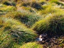 Festuca glauca ornamental grass. stock image