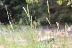 Festuca, ornamentalgrass imagen de archivo