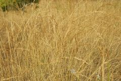 Festuca Pratensis, Allergens Plants stock photo