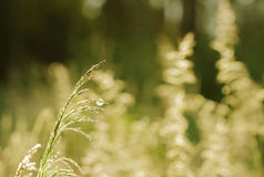 Festuca pratensis, dry grass to summer Royalty Free Stock Image