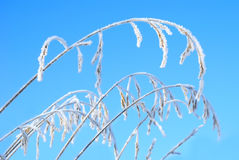 Festuca pratensis under snow on a background of blue sky Stock Image