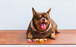Fet Chihuahuahund som sitter på skrivbordet Arkivbilder