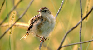 Fet fågel Royaltyfria Bilder