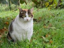 Fet katt Snarlikt sjukligt fett inhemskt moggy i trädgård Royaltyfri Fotografi