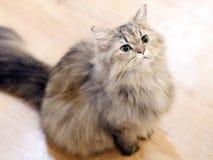 Fet katt som ser upp på något Royaltyfria Bilder