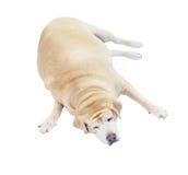 Fet labrador retriever sömn på vit bakgrund, labrador retr Arkivfoto