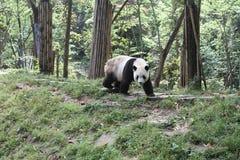 fet panda Royaltyfria Bilder