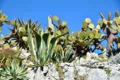 Fet växt-kaktus-aloe med blommor Royaltyfri Bild