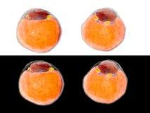 Feta celler från fett- silkespapper adipocytes inre mänsklig organism isolate vektor illustrationer