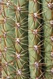 feta pungent inbindningstaggar för kaktus mycket royaltyfria bilder