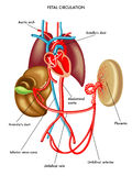 Fetal circulation. Medical illustration of anatomy of the fetal circulation Royalty Free Stock Photos