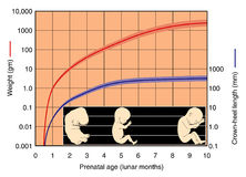 Fetal Development Chart. A graph to show the relationship between weight and crown-heel length in developing fetus Stock Images