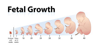 Fetal Growth. Illustration of a Fetal Growth Stock Image