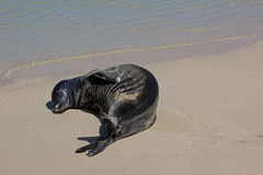 Fetal Monk Seal Stock Photo