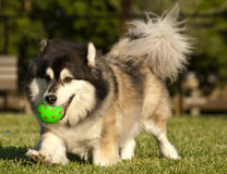 Fetch. Dog playing fetch with a ball in a park royalty free stock images
