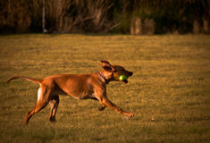 Fetch. This picture shows a yellow lab playing fetch with his owner on a late afternoon royalty free stock image