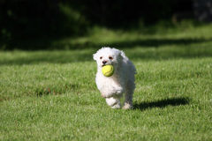 Fetch!. A cute white dog playing fetch with a tennis ball stock photography