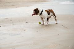 Fetch boy!. A bull-dog and a tennisball on the beach. On second thought: 'That ball looks very slimy, so Please, don't fetch boy royalty free stock images