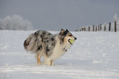 Fetch! Collie rough Royalty Free Stock Images