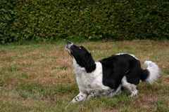 Fetching the ball Royalty Free Stock Photo