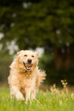 Fetching the Ball Royalty Free Stock Images