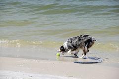 Fetching on the beach. Dog fetching on the beach stock images