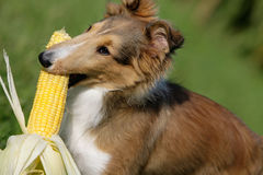 Fetching corn. Lateral close-up of a young sheltie puppy fetching corn Stock Image