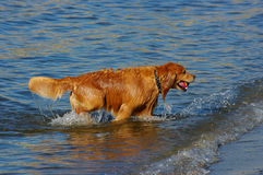 Fetching dog. A dog fetching a ball in the ocean stock photography