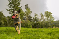Fetching dog. Australian Cattle dog fetches a toy in the park stock image