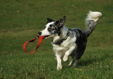 Fetching the leash Royalty Free Stock Image