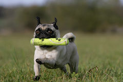 Fetching pug Royalty Free Stock Photos