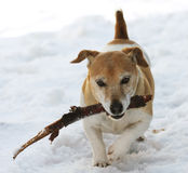 Fetching in the Snow. Dog fetching a stick in the snow stock photos