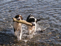 Fetching Stick. A pair of Springer Spaniels fetching the same stick from the ocean Royalty Free Stock Photos