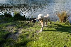 Fetching the stick from the water Stock Photo