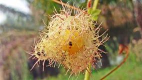 Fetid passionflower στο δάσος Στοκ Φωτογραφίες