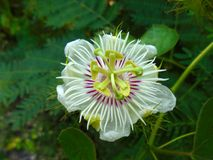 Fetid passionflower royalty free stock image