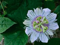 Fetid passionflower. Beautiful native royalty free stock image
