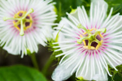Fetid passionflower Stock Photos