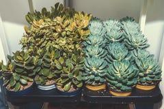 Fetknopp och andra suckulenter i krukor på kuggar i lagringsrummet Reproduktion av växter arkivfoto