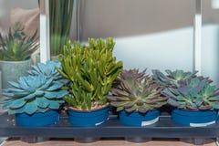 Fetknopp och andra suckulenter i krukor på kuggar i lagringsrummet Reproduktion av växter royaltyfria bilder