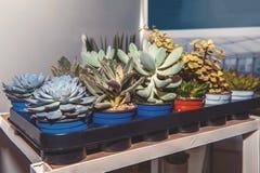 Fetknopp och andra suckulenter i krukor på kuggar i lagringsrummet Reproduktion av växter royaltyfri foto