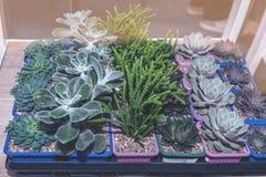 Fetknopp och andra suckulenter i krukor på kuggar i lagringsrummet Reproduktion av växter fotografering för bildbyråer