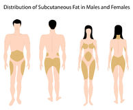 fett mänskligt subkutant Royaltyfri Bild