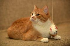 Fett spela för katt fotografering för bildbyråer