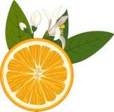 Fetta arancio con i fiori e le foglie verdi su fondo bianco Fotografia Stock Libera da Diritti