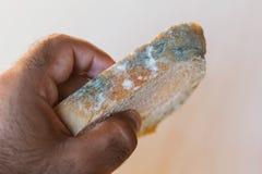 Fetta della tenuta dell'uomo di pane con la muffa su fondo leggero Alimento non adatto a consumo immagini stock libere da diritti