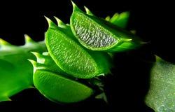 Fetta di verde della pianta dell'aloe con la macro del primo piano di riflessione sul nero Fotografie Stock
