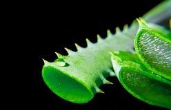 Fetta di verde della pianta dell'aloe con la riflessione sul nero Fotografie Stock Libere da Diritti