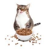 Fette Cat Eating Heaping Bowl des Lebensmittels Stockfoto